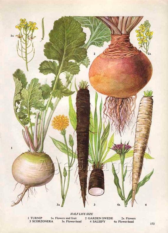Vintage Vegetable Botanical Print, Food Plant Chart, Art Illustration, Wall Decor, Turnip. $10.00, via Etsy.
