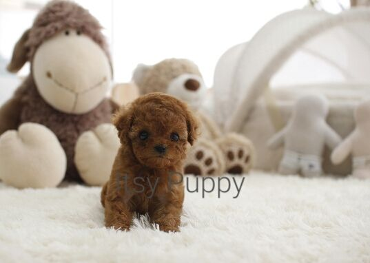 SOLD**Lovely - Micro Poodle Female | ITSY PUPPY | Teacup & Microteacup Puppies for Sale | ITSY PUPPYITSY PUPPY | Teacup & Microteacup Puppies for Sale | ITSY PUPPY