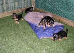 Australian Silky Terries | puppies for sale Maryborough Queensland | Australian Silky Terrier dogs for sale in Australia | Australian Silky Terrier puppies for sale @ #pups4sale here: http://www.pups4sale.com.au/dog-breed/391/Australian-Silky-Terrier.html