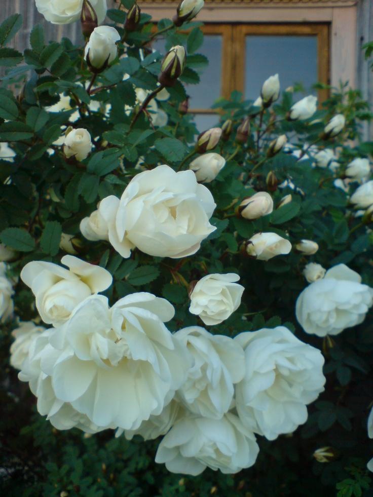"""Juhannusruusu"", The Finnish White Rose  Rosa pimpinellifolia plena"