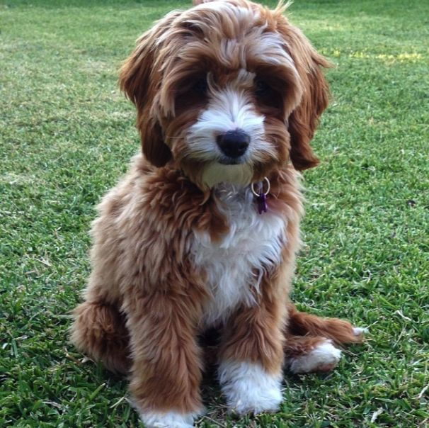 Cavoodle Puppies Pinterest