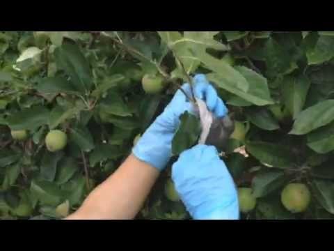 Способ укоренения яблони - YouTube