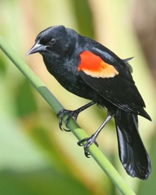Red-winged blackbird. These are plentiful in our yard in central NY state.