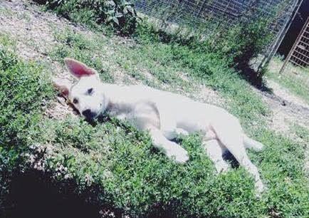 BIAGIO cucciolo in canile Cucciolo maschio, cerca casa. E' un adorabile cucciolotto di circa 3 mesi, abbandonato in Canile circa un mese fa. I fratellini sono stati tutti adottati e lui è rimasto solo. E' bianco a pelo corto, diventerà una taglia medio-grande. Si trova al Canile di Rimini 0541730730.