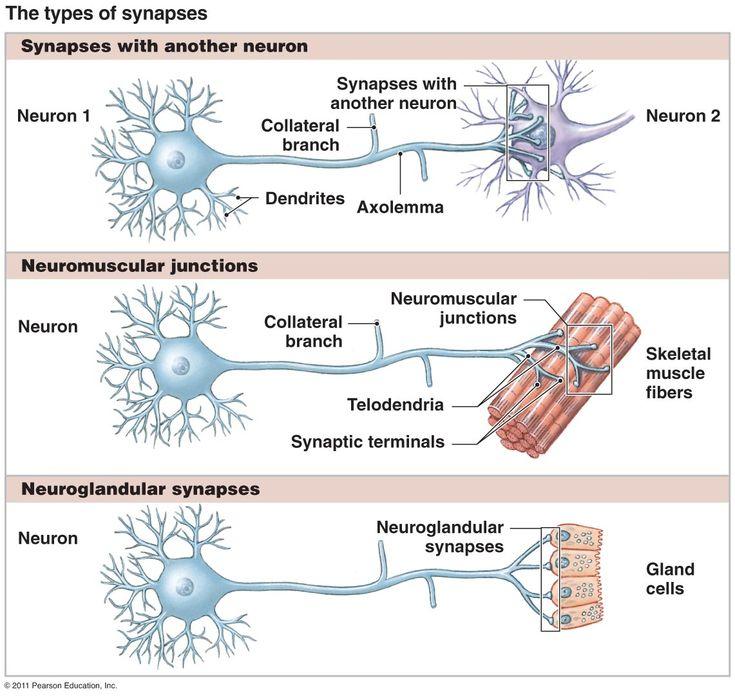 60 best Nervous System images on Pinterest | Neurowissenschaften ...