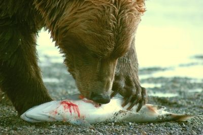 grizzly bear diet | Grizzly Bear Blog