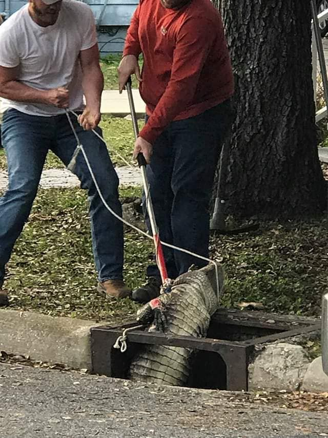 Mississippi Woman Looking For Cat Finds 7 Foot Alligator In Storm Drain Instead Name Him Pennywise Mississippi Looking For Women Alligator