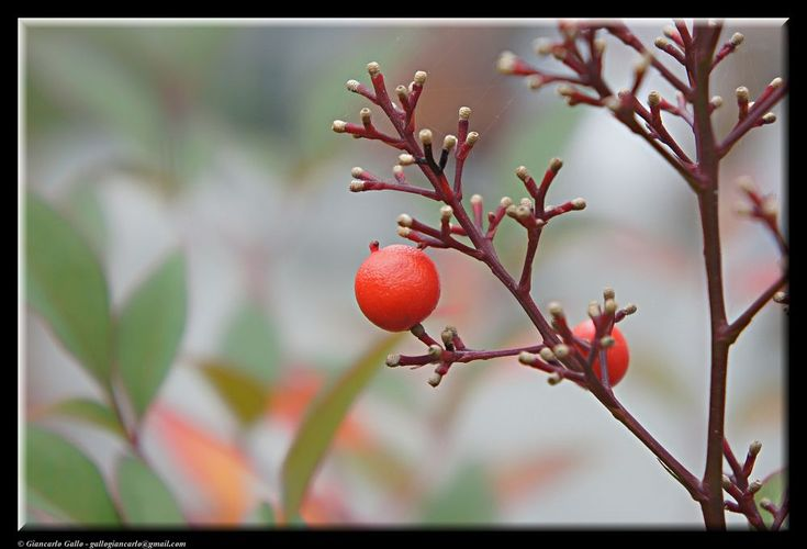 Red berry by Giancarlo Gallo