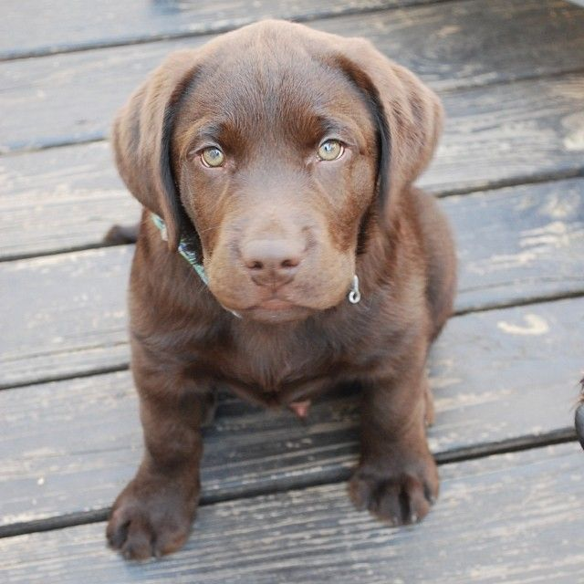 Chocolate english lab puppy