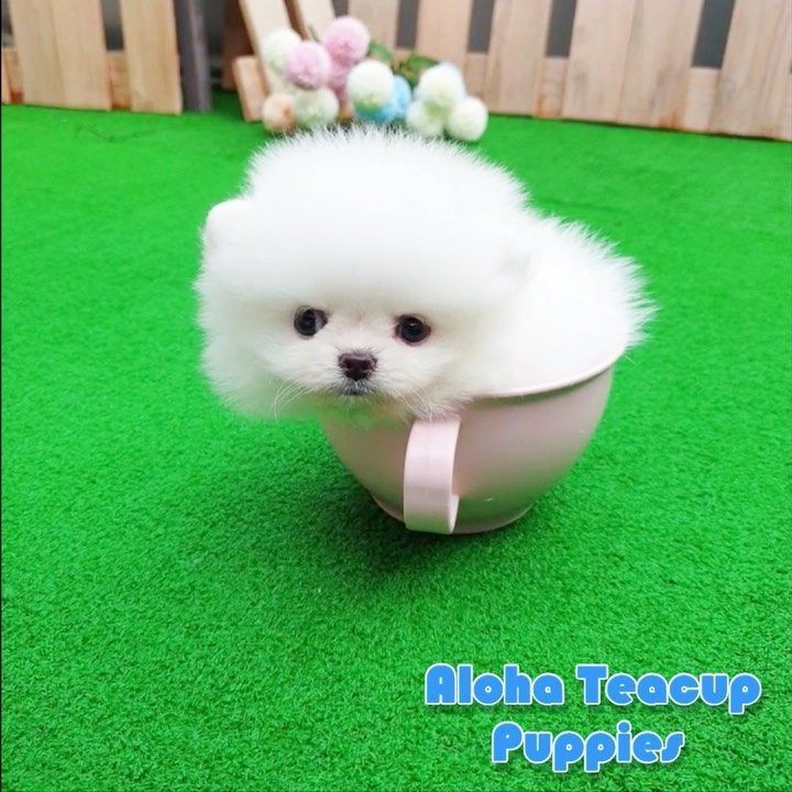 Buzzmicro Teacup Pomeranian Is Only Here Text Mailalohapuppies Pom Pomeranian Spitz Pompom Summer Mia In 2020 Teacup Puppies Dog Training Obedience Pugs Funny
