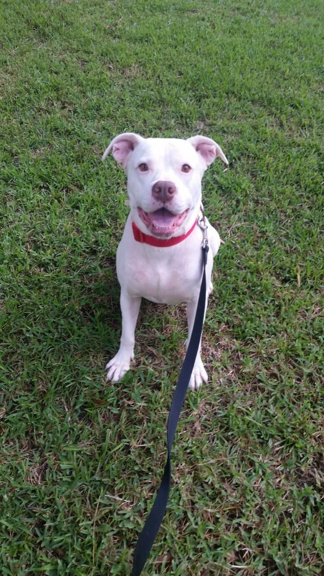 Pandi - THIRD COAST ANIMAL RESCUE in Spanish Fort, AL - ADOPT OR FOSTER - Adult Spayed Female Pit Bull Terrier - Being in a No Kill facility isn't enough!  This girl needs a home and a family to love.  Please share! ADOPTING FROM A RESCUE SAVES THE DOG ADOPTED AND MAKES ROOM FOR ANOTHER TO BE RESCUED!