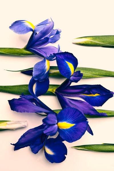 Iris #flowers