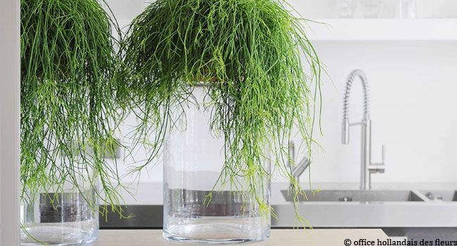 beautiful plante retombante le rhipsalis une plante cheveux plante pour salle de bain sombre. Black Bedroom Furniture Sets. Home Design Ideas