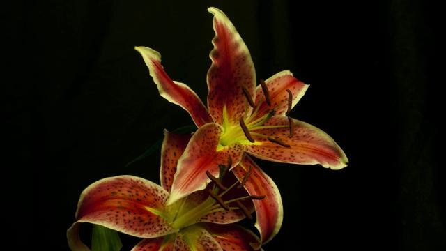 Lily - a rather flowery time lapse by Mark Rigler. A time lapse of several lilies opening and closing. Shot in my tiny  kitchen cupboard using a Canon 300D and 20D. Edited in Adobe After Effects