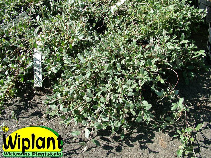 Salix glauca var. callicarpa 'Haltia', krypvide. FinE-sort. 0,3-0,4 m.