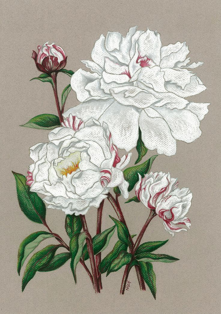 """Paeony """"Minnie Shaylor"""". Private commission. Available as prints or greeting cards."""