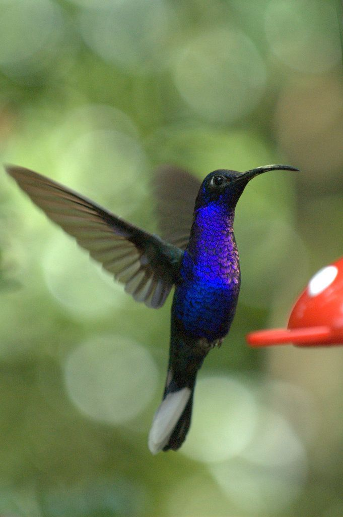 Campyloptère violet - Campylopterus hemileucurus; Violet Sabrewing from Costa Rica