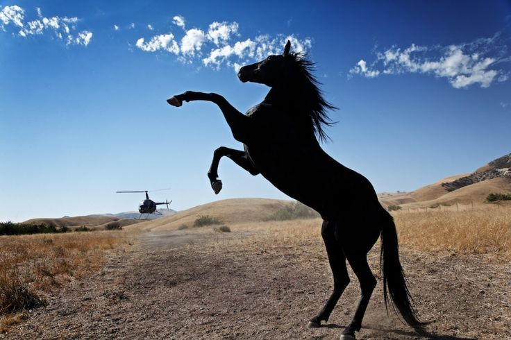 Black Mustang Horse | The black stallion reared up to face ...
