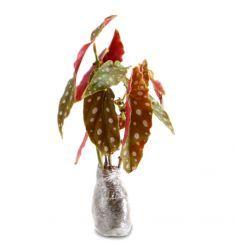 Begonia Angel Wing Rp 55,000