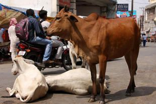 Hindu-Muslims Bridge Gaps with the Pledge to Fight Cow Slaughter