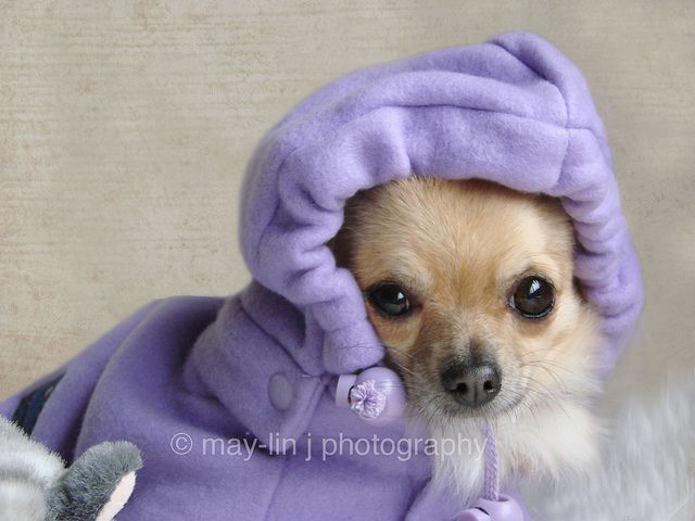 are chihuahua hypoallergenic 97 best images about chihuahua daisy mae on pinterest 3591