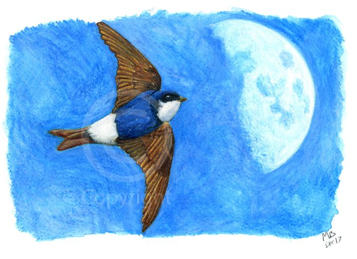 House Martin, in watercolour pencils - The House Martin swoops across the sky and in front of the daytime moon. Hand-drawn as part of my British Garden Birds collection, I created this artwork using watercolour pencils. This drawing was created on watercolour paper using watercolour pencils.