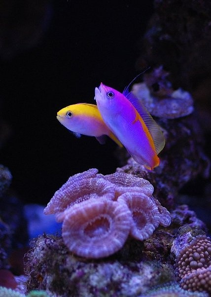 Male and female anthias.