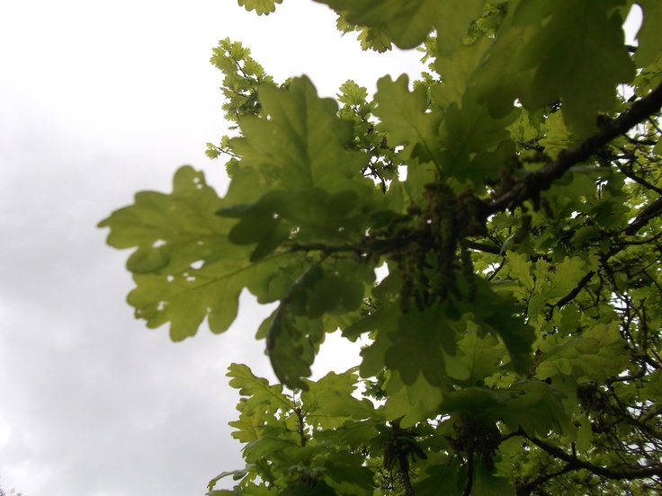 Looking at the trees, young oak leaves