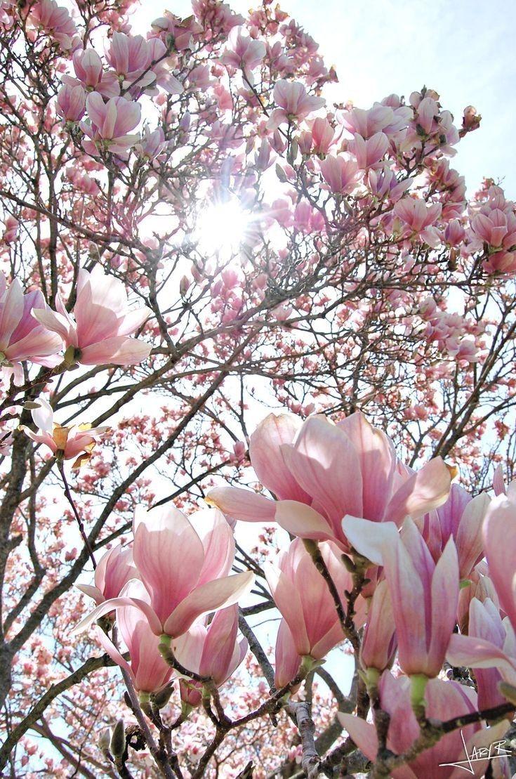 Pin By Iwona Strek On Tapeta Na Iphone A In 2021 Magnolia Flower Beautiful Flowers Magnolia Trees