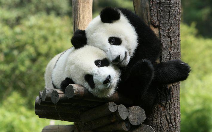 Herunterladen hintergrundbild pandas, bären, niedliche tiere -, baum -, panda -, paar pandas