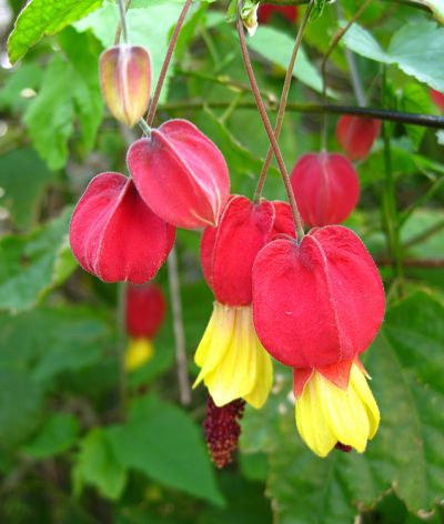 Abutilon megapotamicum | Shrubs | Abutilon megapotamicum