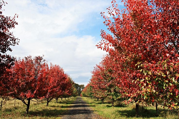 Manchurian Pear - drought tolerant, deciduous, shade tree ...