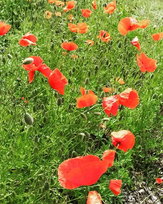Jetzt sind überall #Mohnblumen zu sehen. #Blumenwiese #Blumenfeld #Blumenwiesenpatenschaft. Einfach bei #Agrarbetrieb #blumenwiese jetzt vorbeischauen.