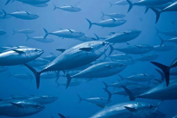 Thunfischfang:    Jährlichen werden unzählige Thunfische in Carloforte, vor der Küste Sardiniens grausam abgeschlachtet .   Die Recherche von Animal Equality deckte Szenen voller Leid, Schmerz sowie physischer und psychischer Gewalt auf. Das Leid, das die Tiere in den Netzen erfahren, ist kaum vorstellbar.