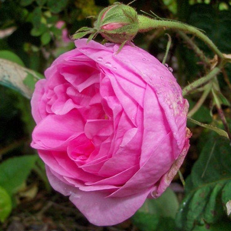 126 best images about rose rosen on pinterest garden. Black Bedroom Furniture Sets. Home Design Ideas