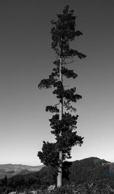 Pinu bakartia (Lonely pine tree) ViewBug Cool Capture Award on September 2014