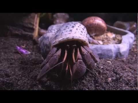 123 Best Hermit Crabs Images On Pinterest