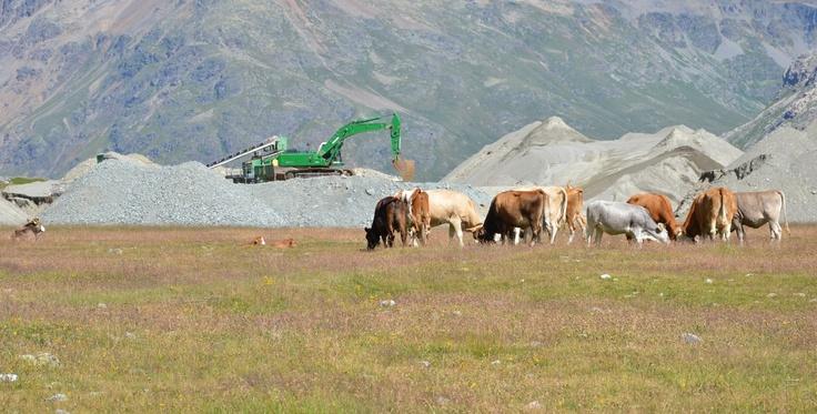 Mucche e ruspe al Passo Bernina