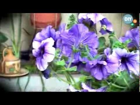 Φύτεψε πετούνια Plant petunias