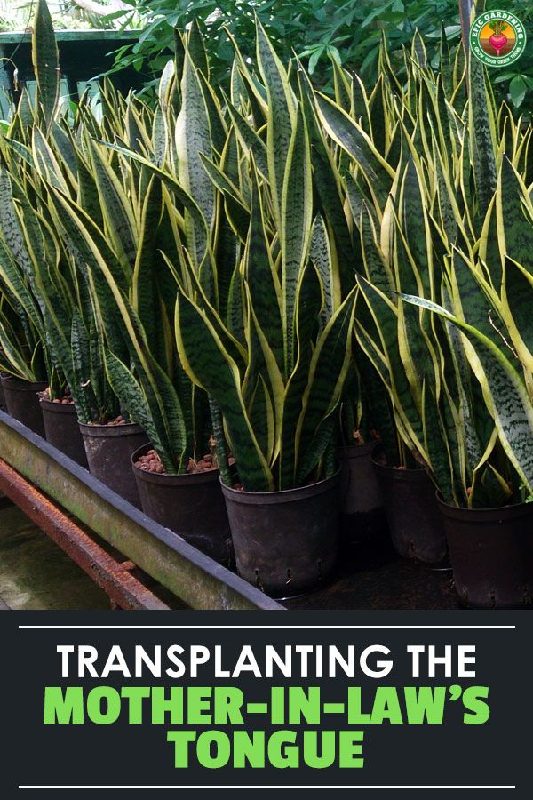 Repotting Snake Plant How To Do It The Right Way Epic Gardening Mother In Law Tongue Snake Plant Snake Plant Care