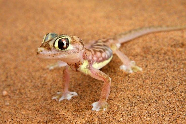 O Pachydactylus rangei é um pequeno lagarto da família Gekkonidae. Sua aparência é extremamente carismática e simpática. É um animal endémico do Deserto do Namibe. Assim como as lagartixas, esse animal lambe o globo ocular para que o possa manter limpo, já que não tem pálpebras.
