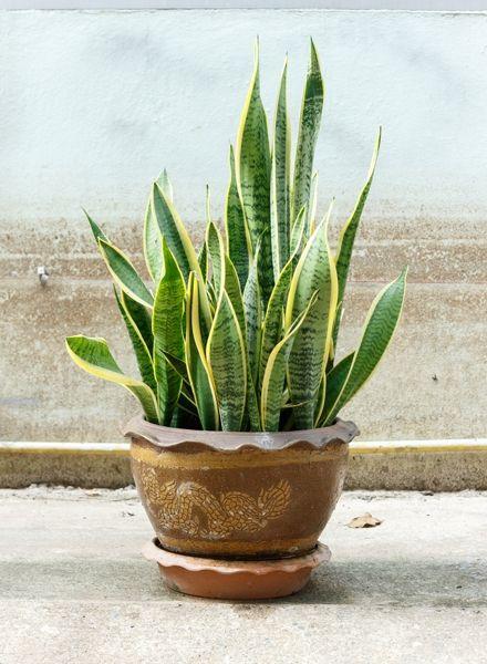 Zimmerpflanzen für dunkle Räume: Bogenhanf