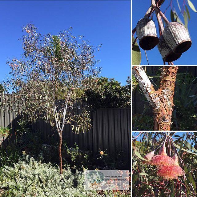 Eucalyptus caesia 'Gungunnu Gungurru'  #ellenbytreefarm #trees #perth #eucalyptus  www.ellenbytreefarm.com/products/eucalyptus-caesia-gungunnu-gungurru