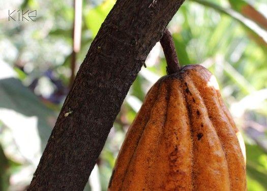 Icono de la cultura precolombina el cacao ahora se cultiva en pocos lugares de nuestro territorio