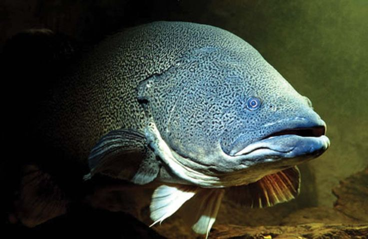 Ponde' the Murray Cod – River Creator | Riverspace