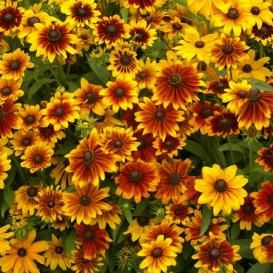 BLACK EYED SUSAN SEEDS - On Sale Now, by the Packet or in Bulk!