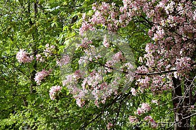 Blooming apple tree on sunny spring day. Beautiful spring pink blossoms. Branch with flowers of Malus niedzwetzkyana.