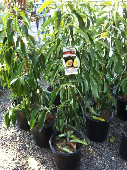 Little Cado Wurtz Dwarf Avocado Tree Tomorrow S Harvest By Burchell Nursery