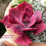 Echeveria 'Diamond State' (variegated) - winter color* by Succulents&Hibiscus