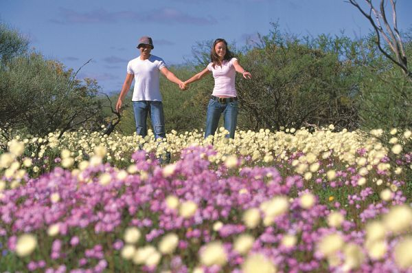Come and see the fields of everlastings in Australia's Golden Outback